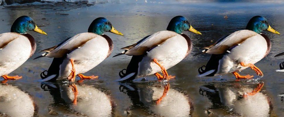 ducky-970x400.jpg