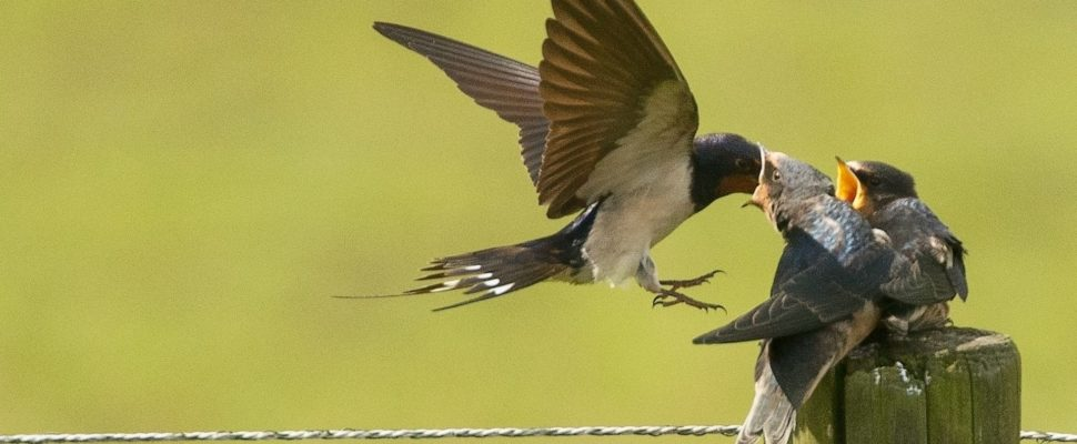 Swallows-970x400.jpg